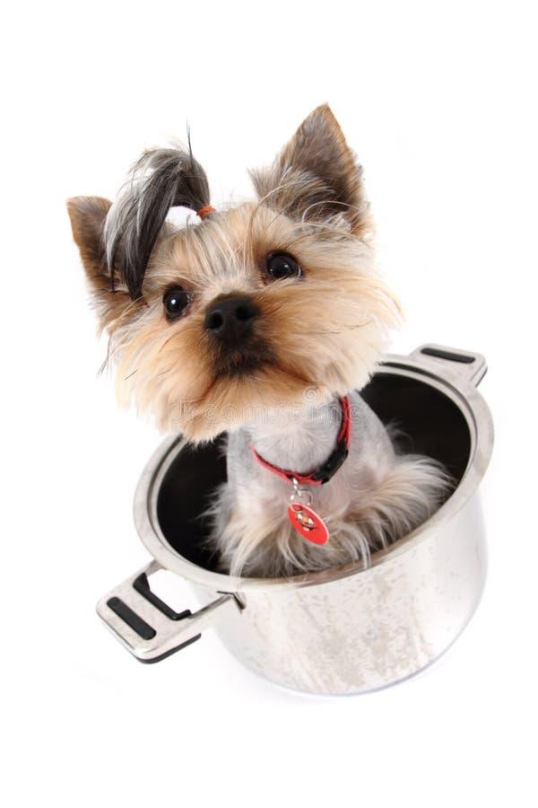 Kleiner yorkie Hund im Potenziometer stockfoto