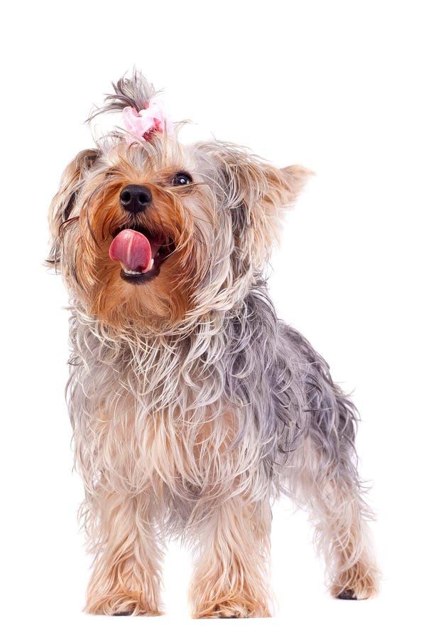 Kleiner Yorkshire-Terrier, der seine Wekzeugspritze leckt lizenzfreies stockfoto