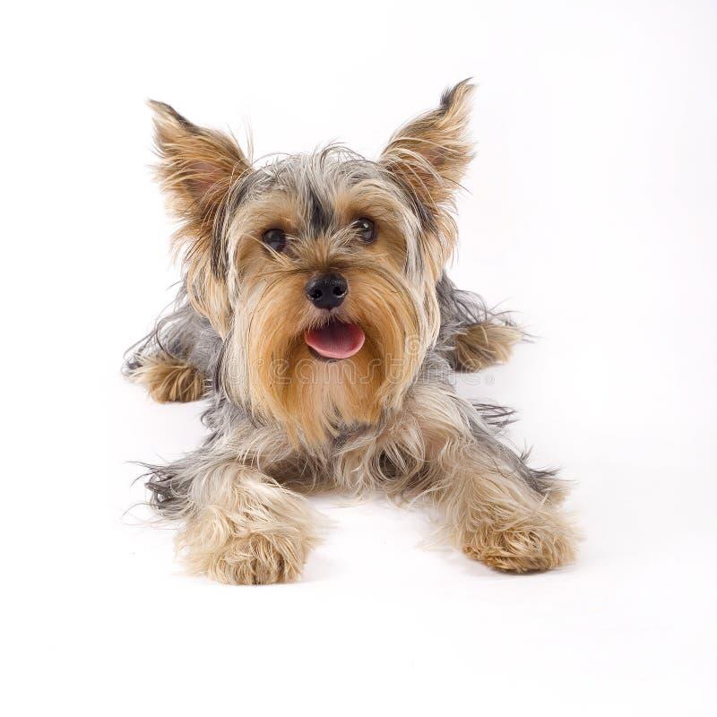 Kleiner Yorkshire-Terrierhund, der sich hinlegt lizenzfreie stockfotos