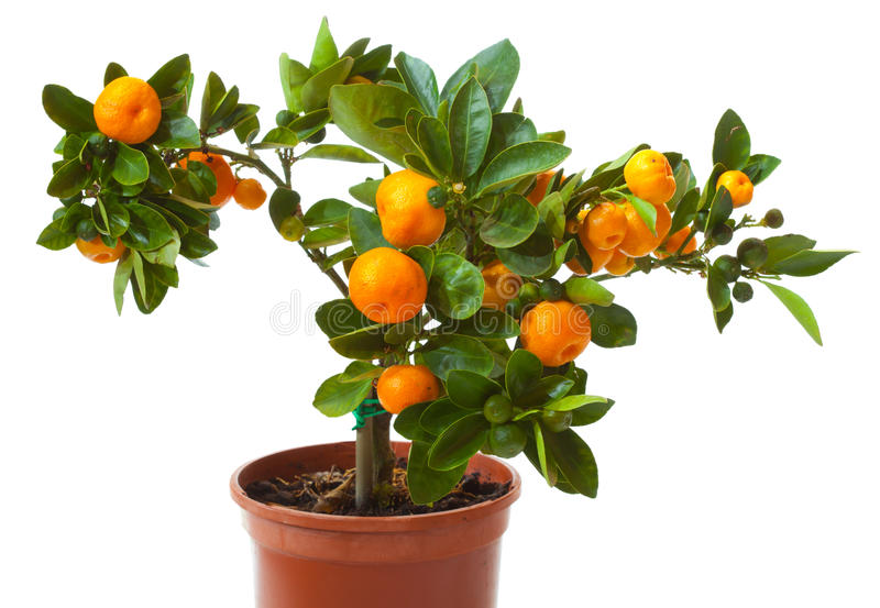 Kleiner Zitrusfruchtbaum im Potenziometer lizenzfreie stockfotografie