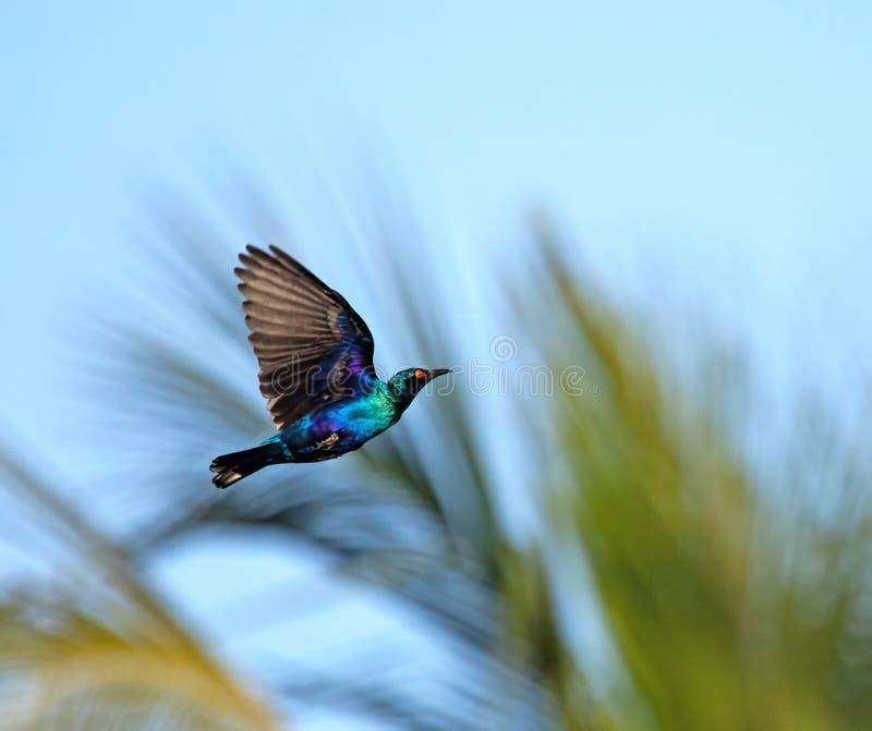 Kleinere blauw-Eared Glanzende Starling tijdens de vlucht stock foto
