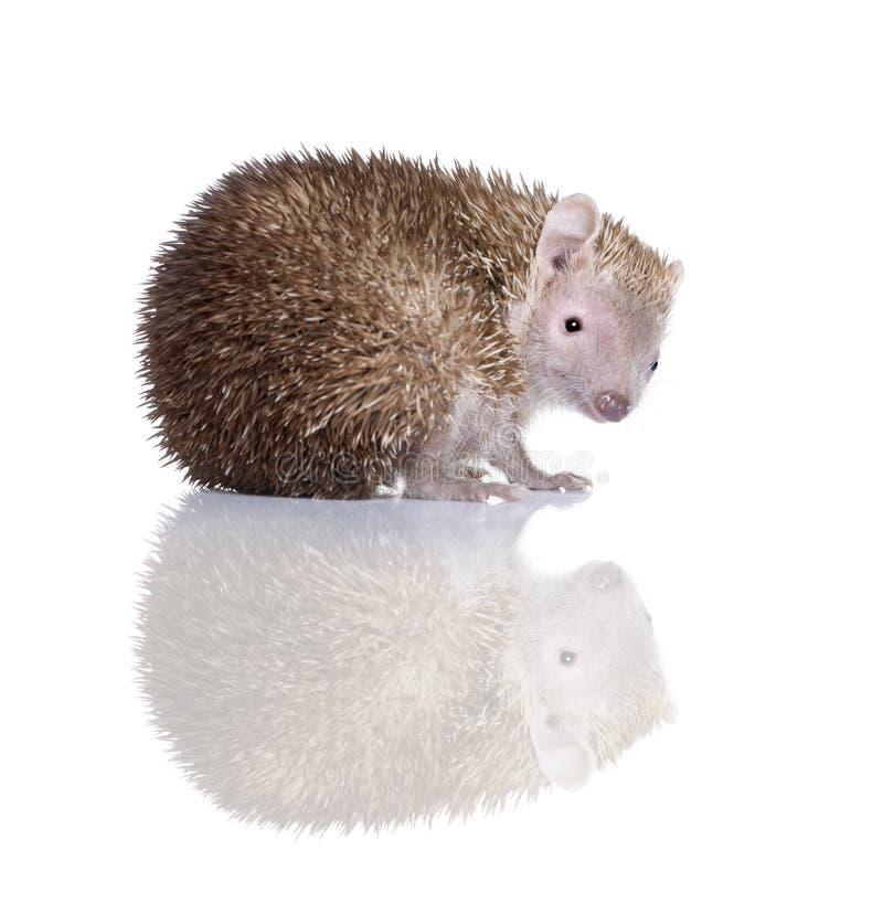 Kleinere Egel Tenrec tegen witte achtergrond stock afbeeldingen