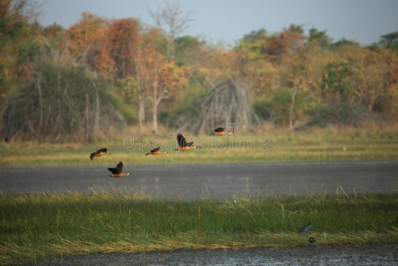 Kleinere het fluiten eenden, Dendrocygna-javanica, het Nationale Park van Tadoba, Chandrapur, Maharashtra, India royalty-vrije stock foto