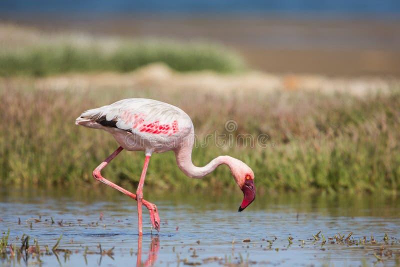 Kleinere minderjarige van flamingo dichte omhooggaande Phoeniconaias, Walvis-baai, Namibië royalty-vrije stock foto
