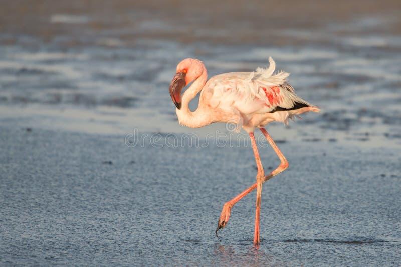 Kleinere minderjarige van flamingo dichte omhooggaande Phoeniconaias, Walvis-baai, Namibi? stock afbeeldingen