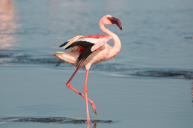 Kleinere minderjarige van flamingo dichte omhooggaande Phoeniconaias, Walvis-baai, Namibi? royalty-vrije stock afbeelding