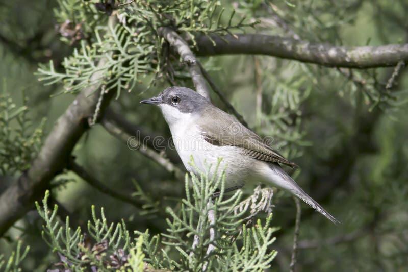Kleinere whitethroat in natuurlijke habitat - sluit omhoog/curruca van Sylvia stock foto