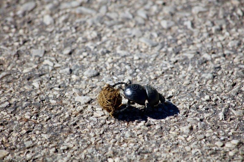 Kleinerer rollender Dung Beetle lizenzfreies stockbild