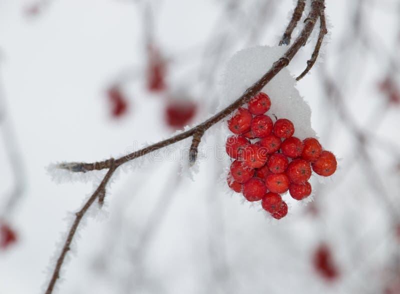 Kleines Büschel des Berges Ash Berries mit Schnee lizenzfreie stockfotografie