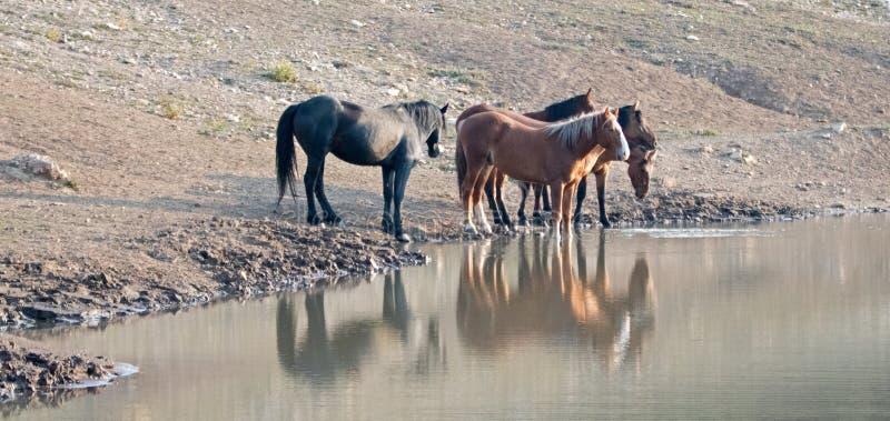 Kleines Band/Herde von den wilden Pferden, die am waterhole in der Pryor-Gebirgswildes Pferdestrecke in Montana USA trinken stockfotos