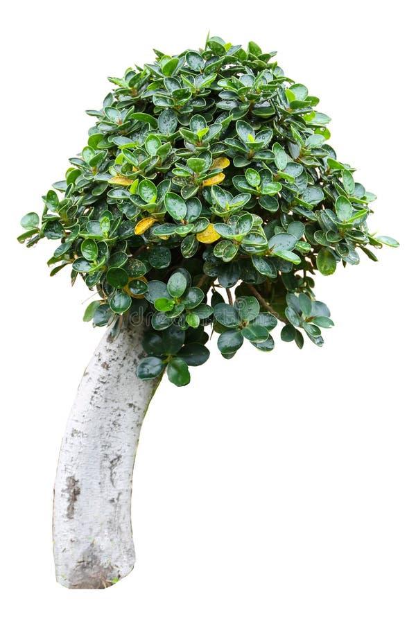 Kleines Baum khoi stockbilder