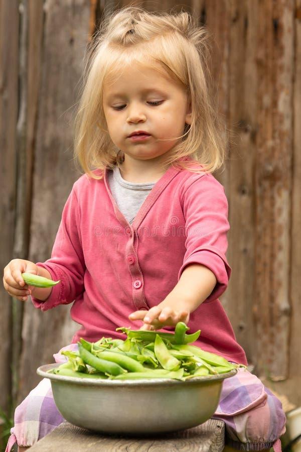 Kleines blondes Mädchen, das voll Erbsenhülse von einer Schüssel reifen grünen Erbsen nimmt stockbilder