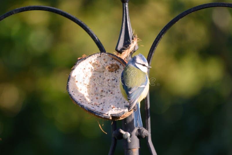 Kleines bluetit, Cyanistes-caeruleus, im Wintersonnenschein an der Vogelzufuhr lizenzfreie stockbilder