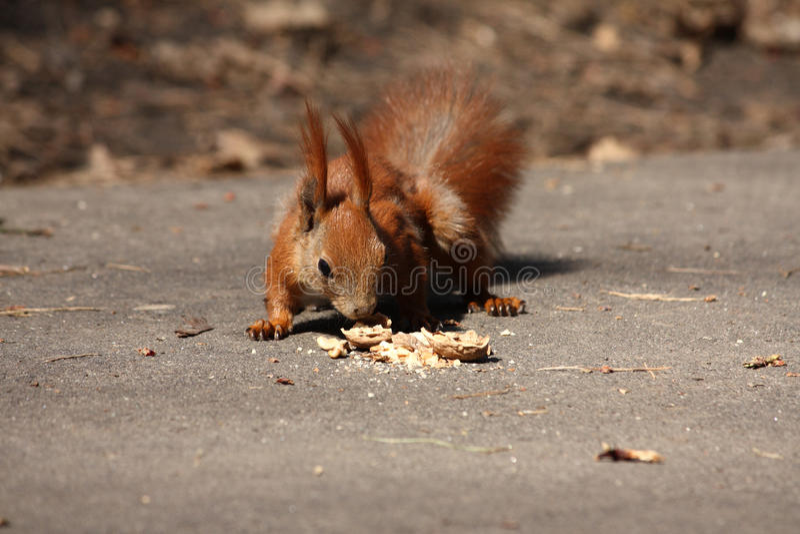 Kleines braunes Eichhörnchen mit Mutter lizenzfreie stockfotos