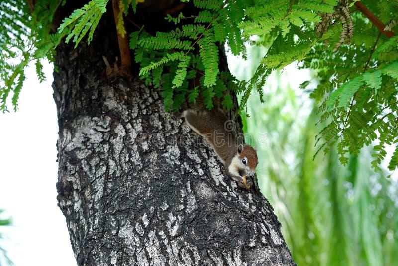 Kleines Eichhörnchen auf dem Tamarinden-Baum stockfotografie
