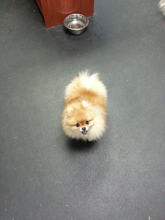 Kleines flaumiges Pomeranian lizenzfreies stockbild