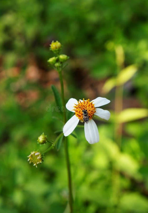 Kleines Gänseblümchen, weiße Wildflowers lizenzfreies stockbild