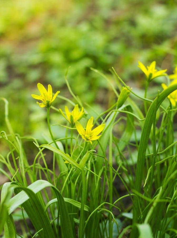 Kleines Gelb blüht Gagea-lutea, gelbes Stern-von-Bethlehem stockbilder