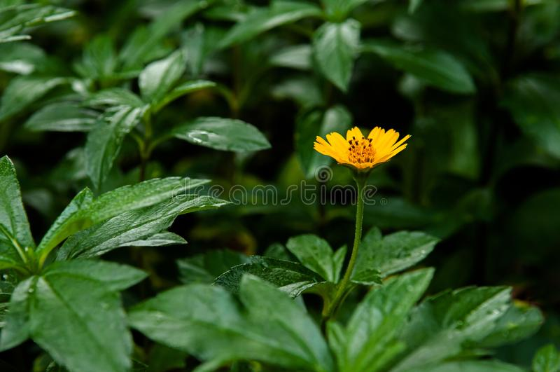 Kleines gelbes Singapur-Gänseblümchen - Abschluss herauf Blumenschuß lizenzfreie stockfotos