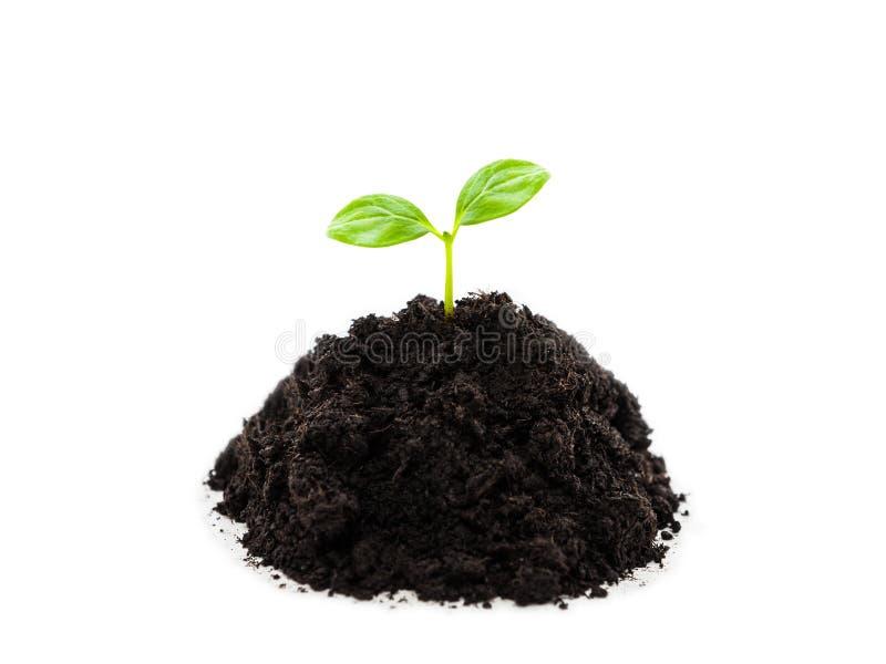 Kleines Grünpflanzesprösslingsblattwachstum am Schmutzbodenhaufen stockfotos