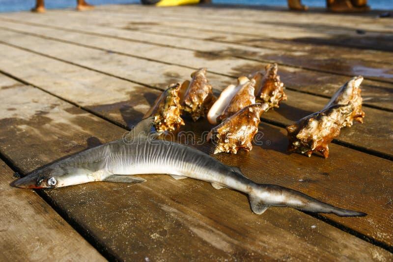 Kleines Haifisch- und Seetritonshorn lizenzfreie stockfotografie