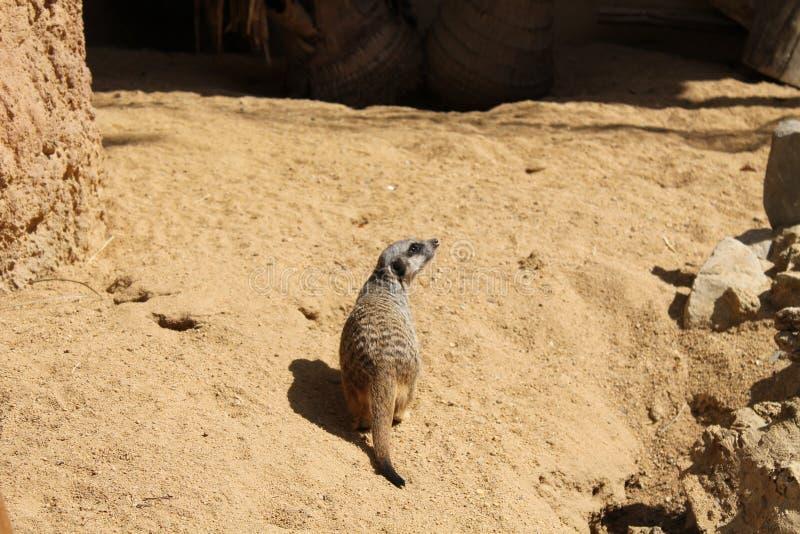 Kleines Haustier auf dem Sand stockbild