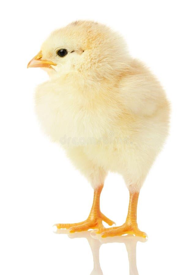 Kleines Huhn lokalisiert auf einem weißen Hintergrund lizenzfreie stockfotografie