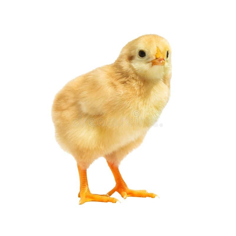 Kleines Huhn lokalisiert auf weißem Hintergrund lizenzfreies stockbild