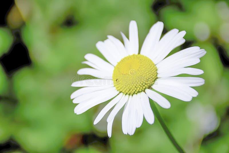 Kleines Insekt auf Kamillenblume lizenzfreies stockfoto