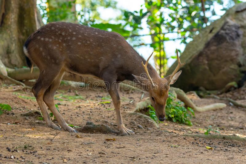 Kleines junges des wilden Rens mit kurzen Hörnern beschmutzte flaumiges Tier auf einem unscharfen Hintergrund des tropischen Wald lizenzfreie stockfotos