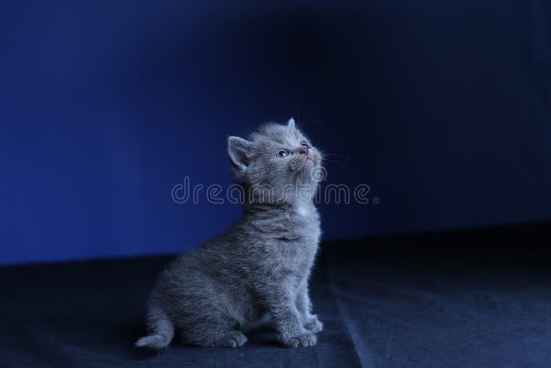 Kleines Kätzchen auf einem blauen Hintergrund, lokalisiertes Porträt lizenzfreie stockbilder