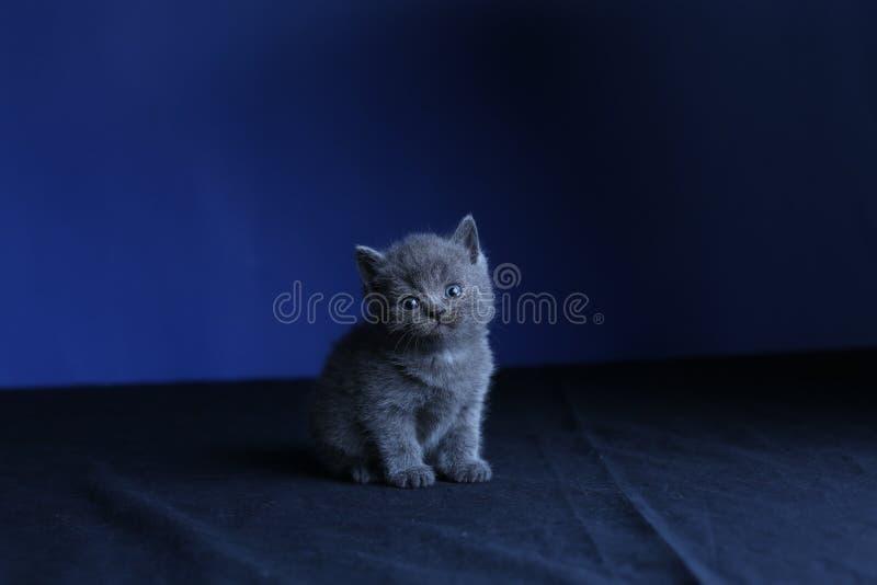 Kleines Kätzchen auf einem blauen Hintergrund, lokalisiertes Porträt stockfoto