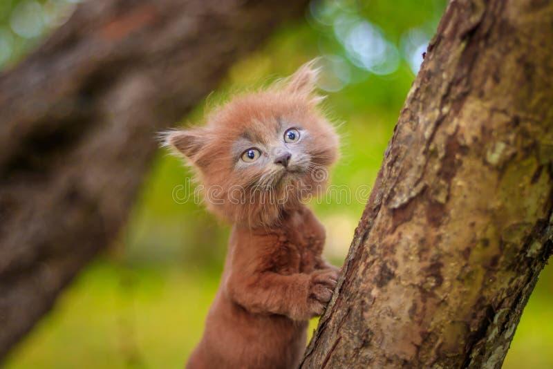 Kleines Kätzchen, das auf einem Baum sitzt Das Kätzchen geht haustier Flaumige rauchige Katze mit einem Haarschnitt Groommer-Haar lizenzfreie stockfotos
