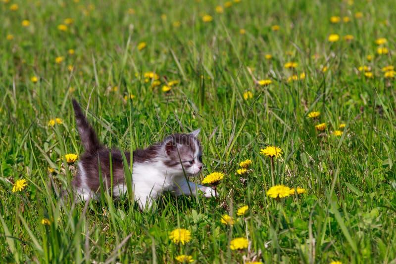 Kleines Kätzchen in gelben Kronleuchthölzern Junge Katze auf grüner Wiese stockfotografie