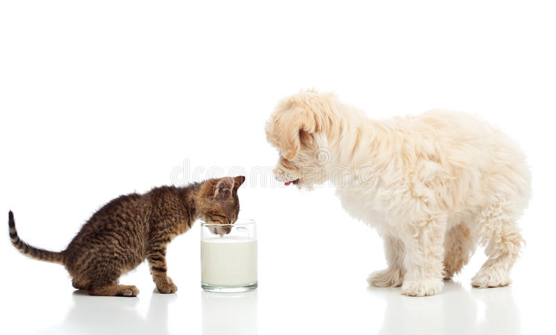 Kleines Kätzchen und Hund, welche die gleiche Milch sich sehnt stockbild