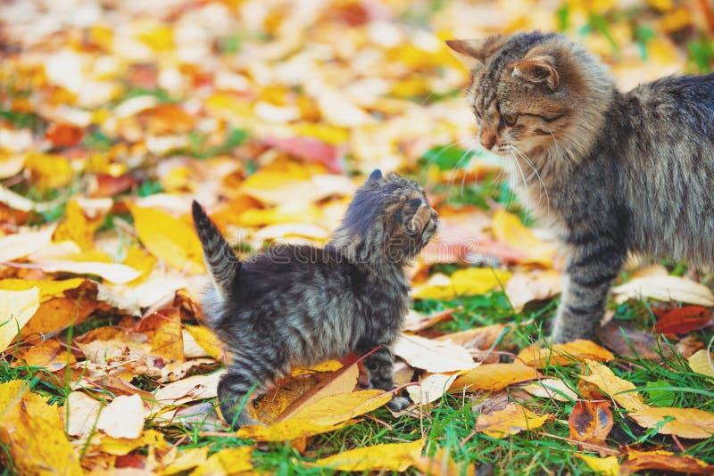 Kleines Kätzchen und Mutterkatze laufen auf gefallenen Blättern lizenzfreies stockfoto