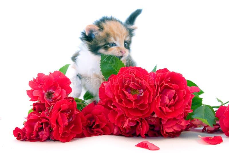 Kleines Kätzchen und Rosen stockfotos