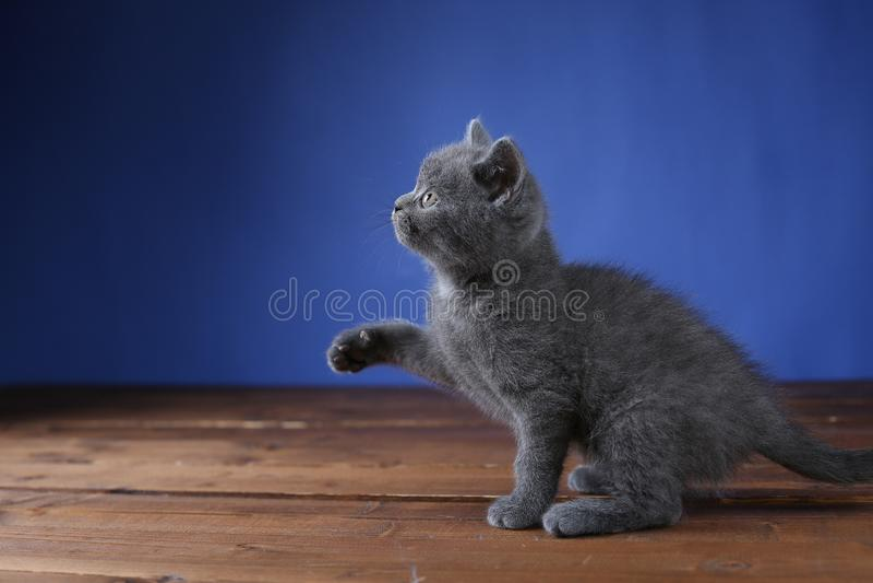 Kleines K?tzchen auf einem blauen Hintergrund, lokalisiertes Portr?t lizenzfreie stockfotos