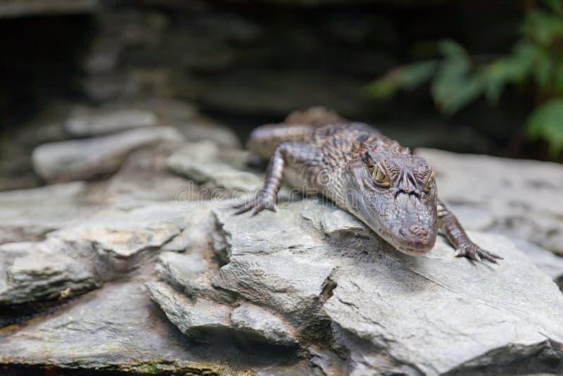 Download Kleines Krokodil stockbild. Bild von krokodil, nave, gefährlich - 27729323
