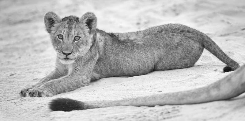 Kleines Löwejunges legen nieder, um auf weichem Kalahari-Sand und Spiel w stillzustehen stockfoto