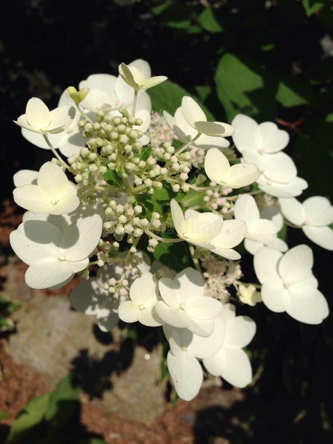 Kleines Lamm der weißen Hortensie stockfotos