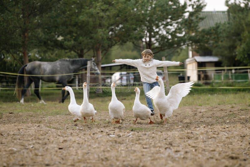 Kleines lustiges junges Mädchen in der weißen Strickjacke lässt eine Menge von den Gänsen laufen, die seine Hände in Richtung zu  lizenzfreies stockbild