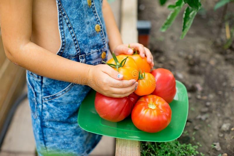 Kleines Mädchen sammelt Tomaten im Gewächshaus stockfotos