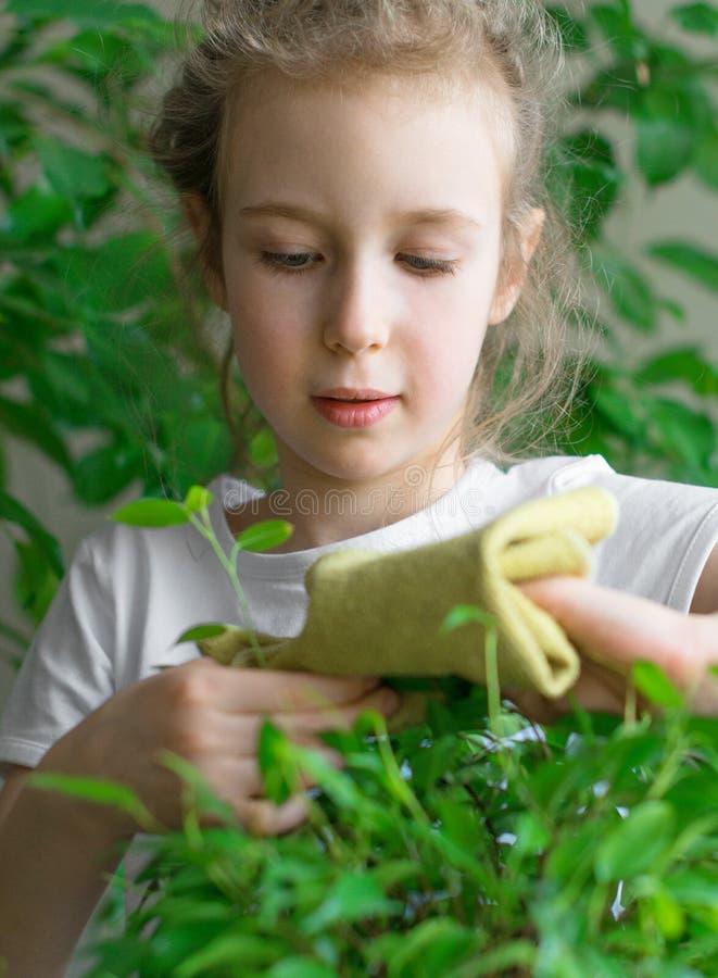 Kleines Mädchen wischt Staub von den Blättern ab stockfotos