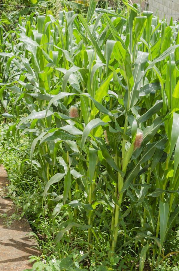 Kleines Mais-Feld mit Lager stockfoto