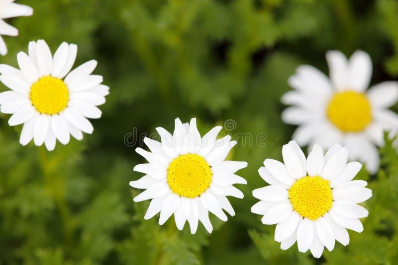 Kleines Makro der weißen Blume in der Wiese, luftgetrockneter Ziegelstein rgb stockfotos