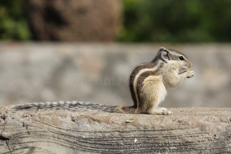 Kleines Nagetier, das eine Eichel isst lizenzfreie stockbilder