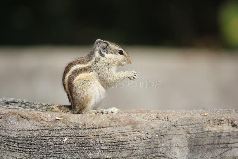 Kleines Nagetier, das eine Eichel isst lizenzfreies stockbild