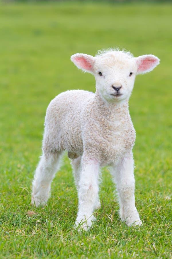 Kleines nettes Lamm, das in eine Wiese in einem Bauernhof herumspringt stockbilder
