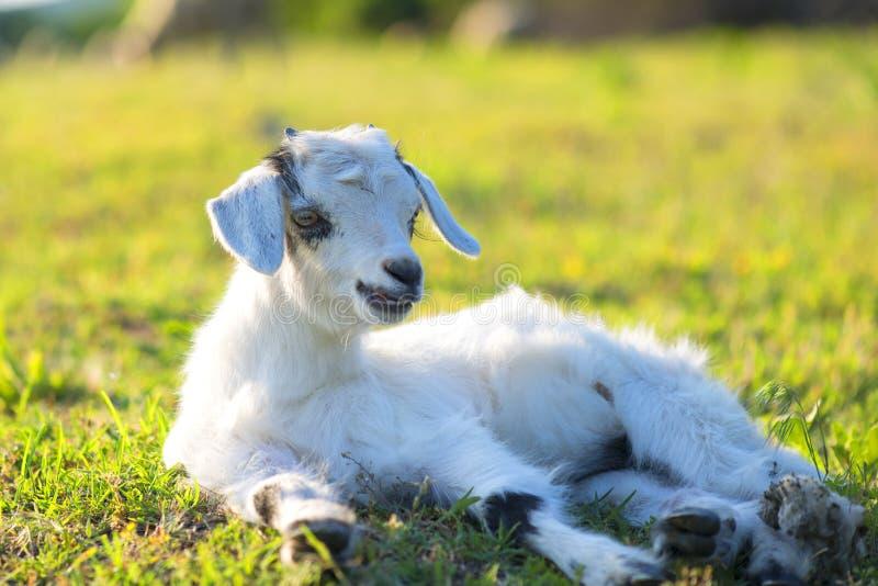Kleines neugeborenes Lamm im Frühjahr, das im Gras stillsteht stockbild